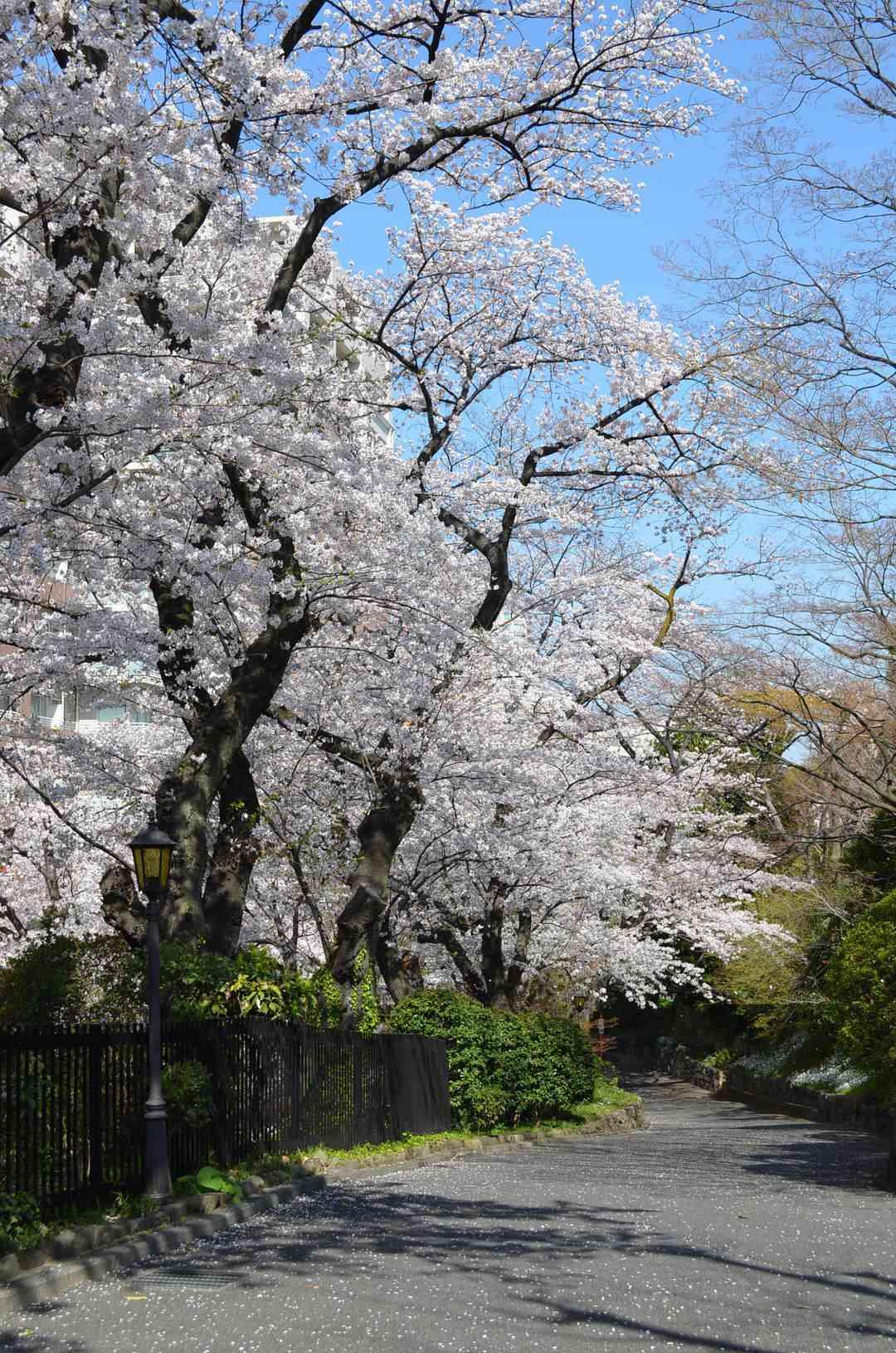 会館前の桜道