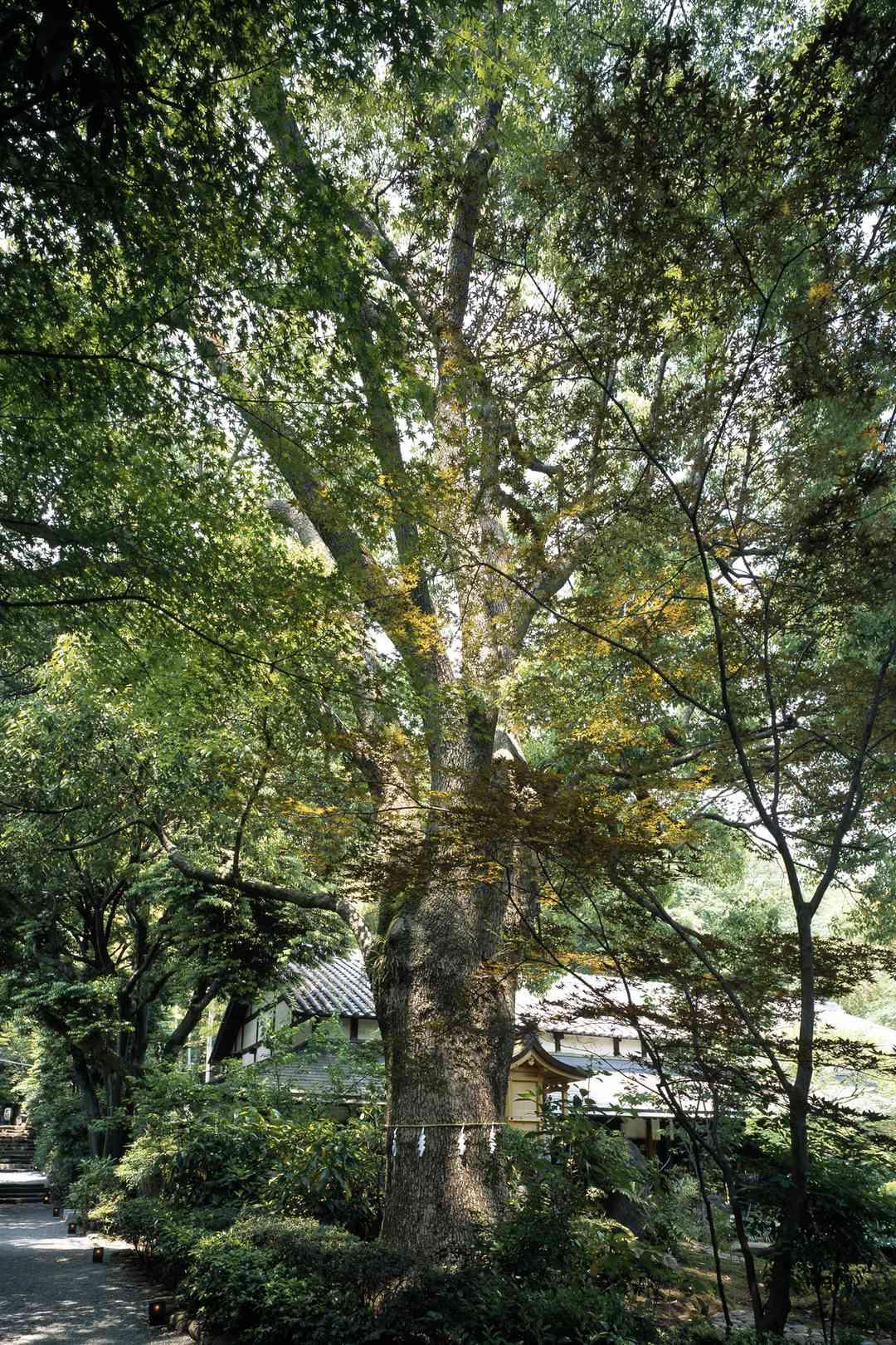 陣屋のトトロの木
